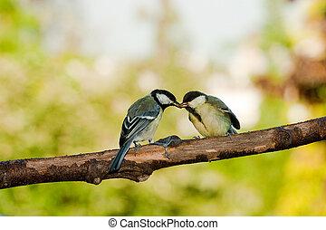 meise, groß, zuführende vögel