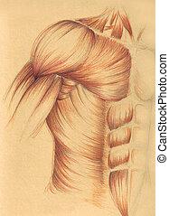 Menschliche Anatomie - Muskel des Käses