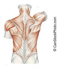 Menschliche Anatomie - Muskeln des Rückens.