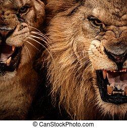 nahaufnahme, brüllen, kugel, zwei, löwe