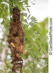 Olivenbackenes, gelb-gelbenes Sonnenvogelbaby, das aus seinem Nest schaut.