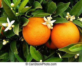 orangenbaum, zwei, orangen