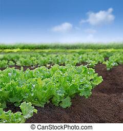Organischer Salatgarten
