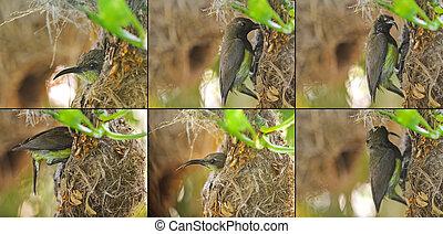 Patente von oliv-gebackenen, gelbbändigen Sonnenvögeln, die ein Baby in ihrem hängenden, flaskförmigen Nest besuchen.