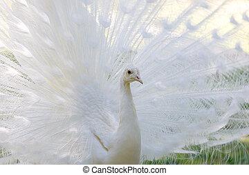 pfau, öffnung, erstaunlich, schwanz, weißes, ihr