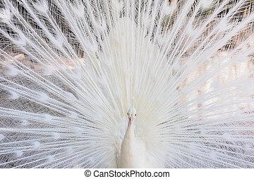 pfau, ihr, weißes, öffnung, schwanz, erstaunlich