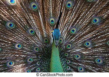pfau, schwanz, seine, feath, peafowl
