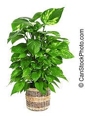 pflanze, epipremnum, aureum