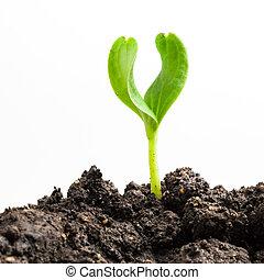 pflanze, wachsen, grün