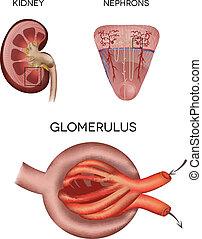 Renal Corpuscle und Glomerulus, ein Teil der Niere.