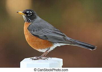 Robin auf Position