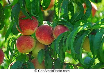 Roter, köstlicher Pfirsich.