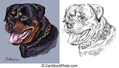 Rottweiler. Farbige und monochrome Handzeichnung Vektorporträt