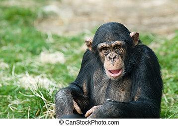 Süßer Schimpanse