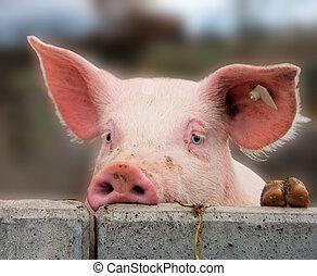 Süßes junges Schwein