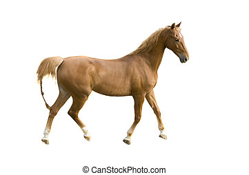 Saddlebred Horse auf weiß