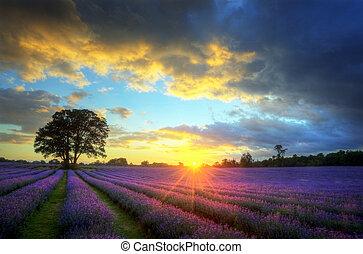 schöne , atmosphärisch, reif, beschwingt, landschaft, felder, bild, himmelsgewölbe, lavendel, betäuben, sonnenuntergang, englisches , wolkenhimmel, aus, landschaftsbild