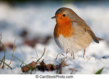 Schöne Robin im Winter.