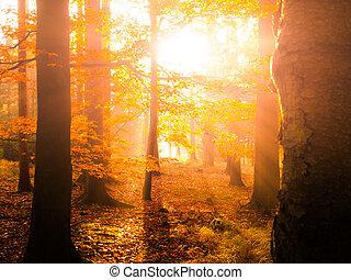 schöne , szenerie, strahlen, dunstig, sonne, herbstlich, morgen, forest., herbst, warm, wald, buche, zuerst