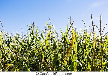 Schließen eines Maisfeldes.