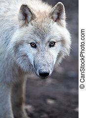 Schließen Sie den Blick auf einen männlichen Wolf (Canis Lupus)