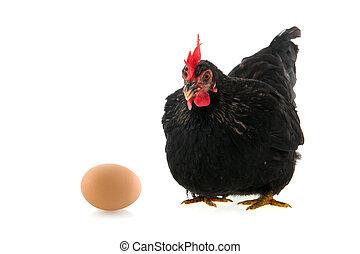 Schwarzes Huhn mit Ei auf weißem Hintergrund.