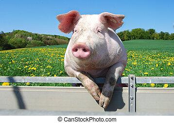 Schwein auf einem Zelt