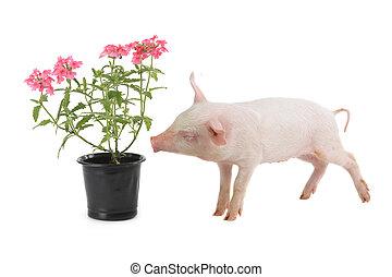 Schwein.