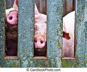 Schweine durch den Zaun.