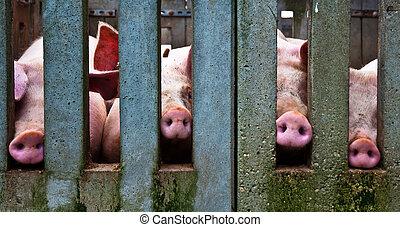 Schweinenasen.