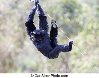 Siamang (Hylobates syndactylus). Die größte der Gibbon Affenarten. Gefunden auf der malayischen Halbinsel und Sumatra.