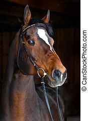 Stallion - Züchterpferd im dunklen Hintergrund