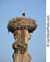 Storch in einem Nest auf einem alten Baum.