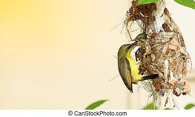 sunbird, thailand., sunbird, olive-backed, vogel, cinnyris, yellow-bellied, baby, nest, jugularis