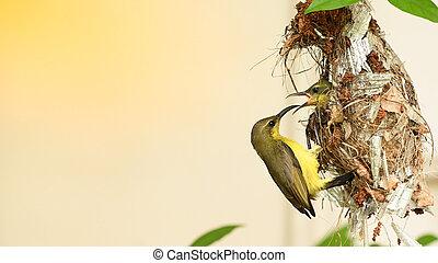 sunbird, yellow-bellied, baby, olive-backed, vogel, jugularis, sunbird, cinnyris, nest, thailand.