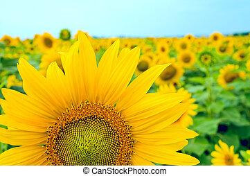 Teil der Sonnenblume