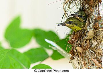 thailand., vogel, baby, nest, olive-backed, sunbird, cinnyris, yellow-bellied, jugularis