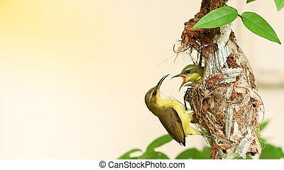 thailand., vogel, baby, olive-backed, jugularis, sunbird, cinnyris, sunbird, yellow-bellied, nest