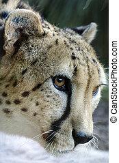 Tier und Tiere - Gepard