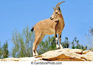 Tierfotos - ibex