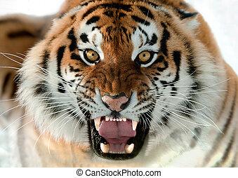 tiger, knurren, sibirisch