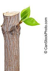 Trockener Zweig mit Blattknospen