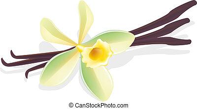 vanilla., blume, illustration., pods., vektor, getrocknete