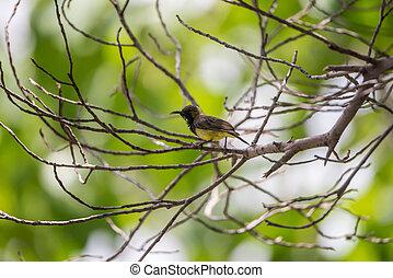 Vogel (Olive-backed sunbird) auf einem Baum.