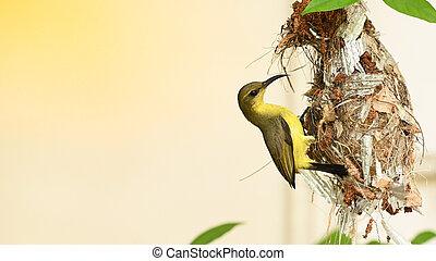 vogel, sunbird, olive-backed, baby, jugularis, yellow-bellied, nest, thailand., sunbird, cinnyris