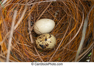 zwei, vogel, eier, nest
